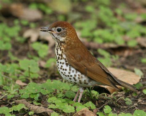 wood thrush bird pictures