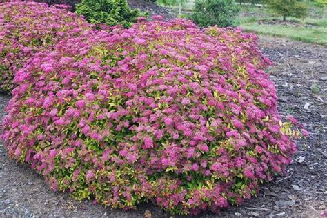 cespugli fioriti per giardino spiraea piante da giardino caratteristiche della spiraea