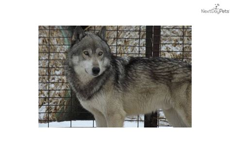 high content wolfdog puppies for sale meet tiya litter a wolf hybrid puppy for sale for 1 000 high content wolf