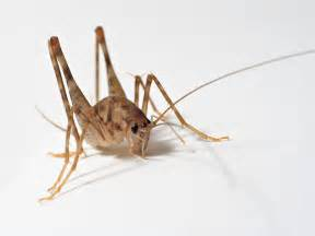 basement crickets crickets enter house bathtub carpeting basement stairs