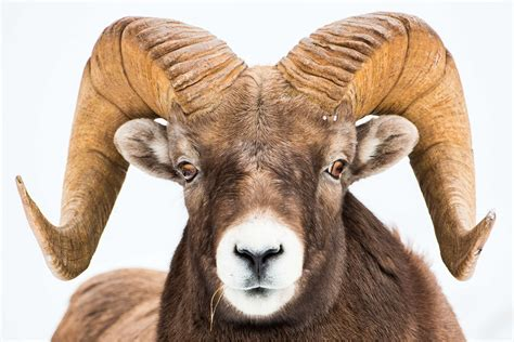 picture of a ram sheep christopher martin photography