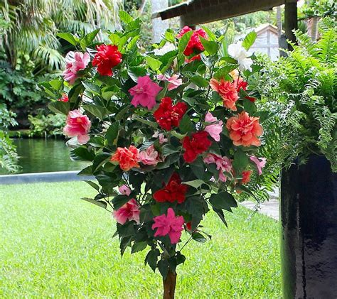 cottage farms braided double flower hibiscus  color tree