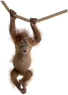 baby monkey swing 1000 images about i love monkeys on pinterest