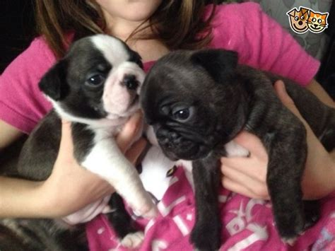 boston terrier x pug puppies for sale uk boston terrier x pug puppies rotherham south pets4homes