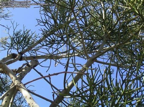 15 Foot Tree - plantfiles pictures pencil cactus milk bush pencil