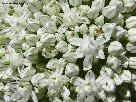 aglio fiore fiore d aglio scheda foto fotoantologia