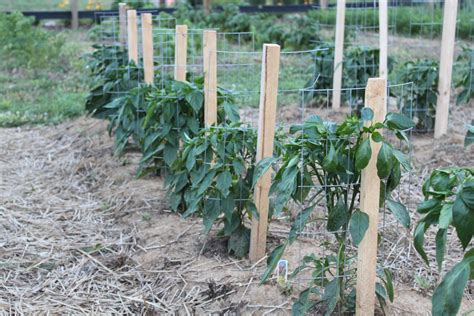 staking tomato plants with bamboo images