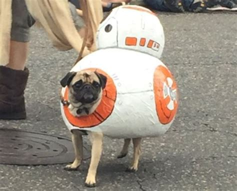 pug wars wars pug parade happened and the costume highlights are spectacular metro news