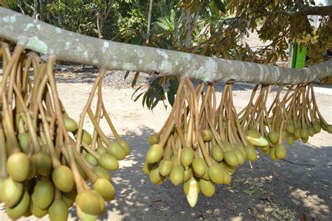 bibit durian montong bibit durian unggul durian bawor
