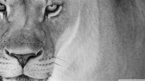 best wallpaper black and white lion black and white best quality wallpapers 6486