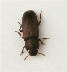 What Do Carpet Beetles Look Like The Carpet Beetles 5 Carpet Beetle Facts Biological