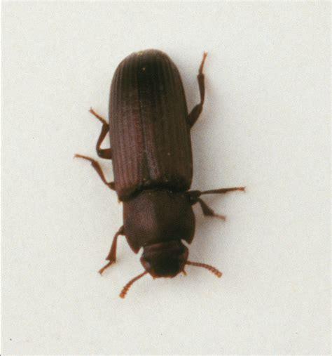 Carpet Beetles In by The Carpet Beetles 5 Carpet Beetle Facts Biological