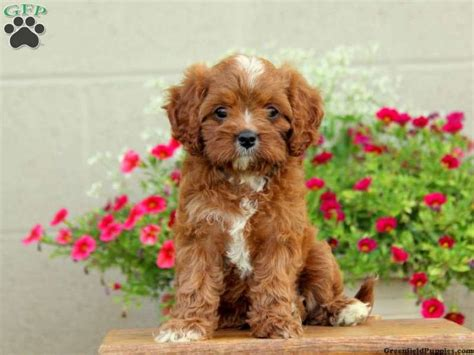 cavapoo puppies for sale missouri best 25 cavapoo for sale ideas on spaniels for sale cavapoo puppies for