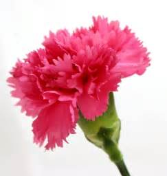 Wholesale Flowers Delivery - buy wholesale pink standard carnations 175 stems
