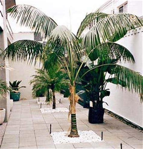 palme da terrazzo palma ideale per interni la kentia fosteriana