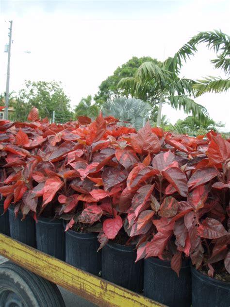 Acalypha Wilkesiana Blaze acalypha wilkesiana copperleaf plantvine