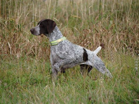 german shorthaired pointer puppies nc german shorthaired pointer puppies carolina