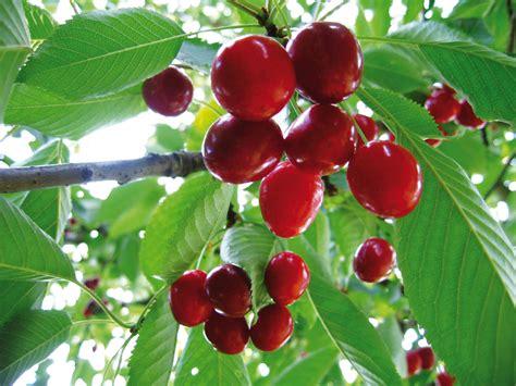 welke fruitboom in de tuin fruitbomen en kleinfruit kopen voor uw tuin tuincentrum