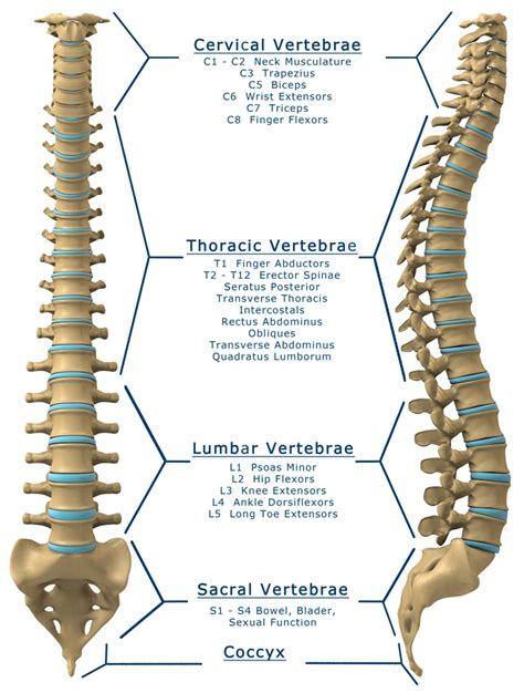 spinal cord injury diagram in and spinal cord diagram in free engine image for user