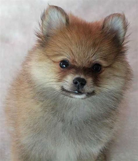 pomeranian puppies for sale florida pomeranian puppy for sale in boca raton south florida