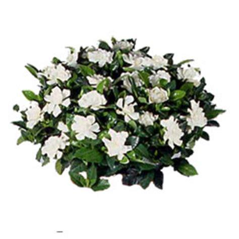 gardenia in vaso gardenia fioreria rosa consegna fiori a vicenza bouquets