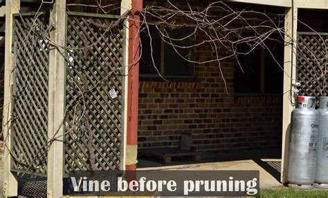 when to cut back a grapevine growing grapes in subtropical climate se qld self sufficient culture