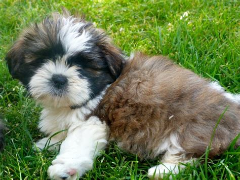 how to if a shih tzu is purebred purebred shih tzu for adoption offer