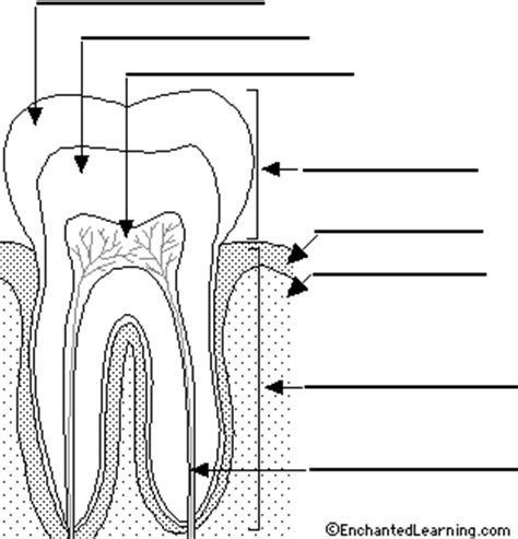 diagram of a tooth to label label tooth printout enchantedlearning