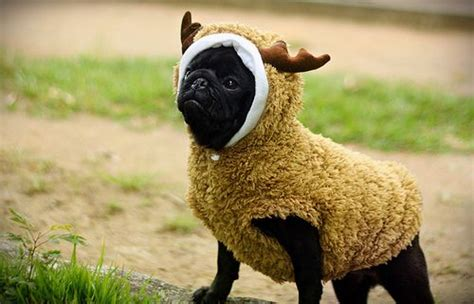 pugs hunt lions 25 best ideas about pug costumes on pugs in costume pugs and