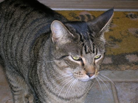 Inidia Cat 33 file tabby cat jpg