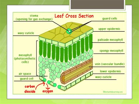 cross section of a leaf parts and functions parts of the plant and their functions