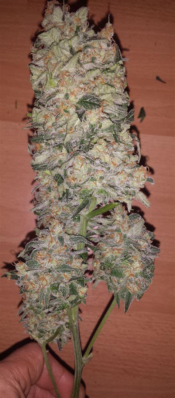 cultivo interior cannabis indoor casero homemadebox cannabis indoor casero como hacer
