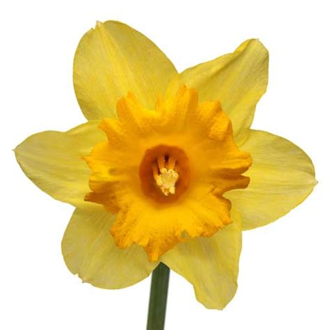 daffodil yellow photo flowers library macro photography fine cut out of