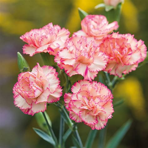 Spray Carnation Plant Collection from Mr Fothergill's