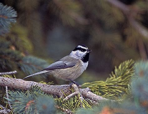 mountain chickadee life expectancy