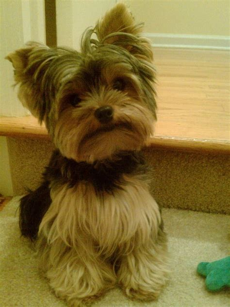 images of yorkshire layered hairstyles 26 best yorkie hair do s images on pinterest doggies