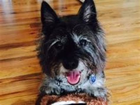 brindle cairn haircut 1000 images about carin terrier on pinterest terry o