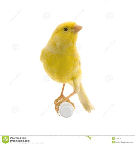 rhinelander canaries stock photo royalty yellow canary on its perch royalty free stock image