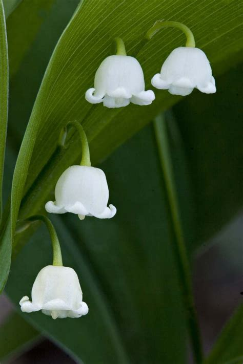 моя россия 喀秋莎日记living in russia lily of the valley return of happiness