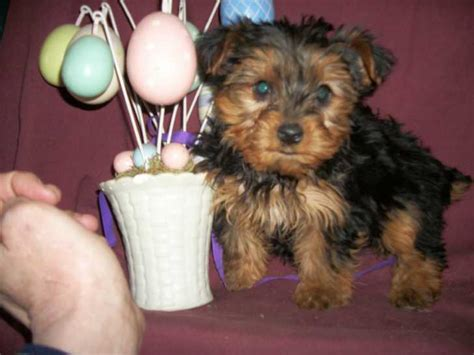 teacup yorkie for sale in md terriers page 25 for sale ads free classifieds
