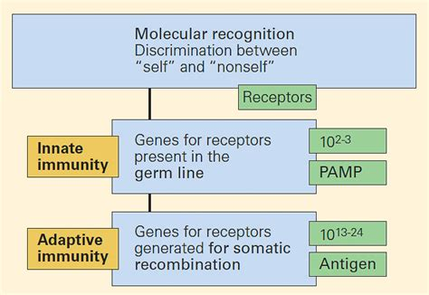 pattern recognition receptors in the immune response against dying cells a snapshot of the immune system immunopaedia