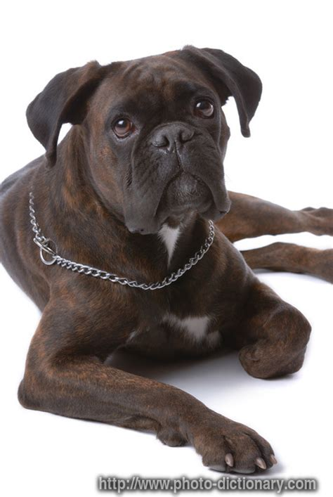 boxer puppies for sale in richmond va boxer information for we can help you to stop it all this guide is the