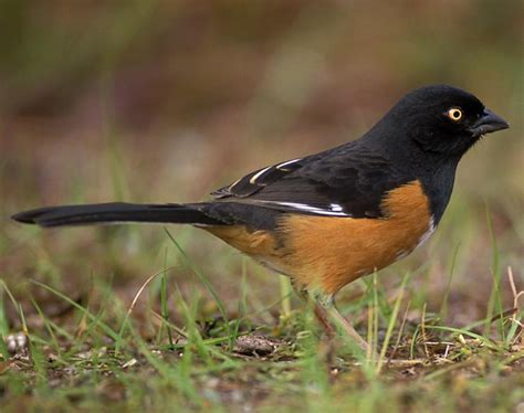 eastern towhee songs and calls larkwire