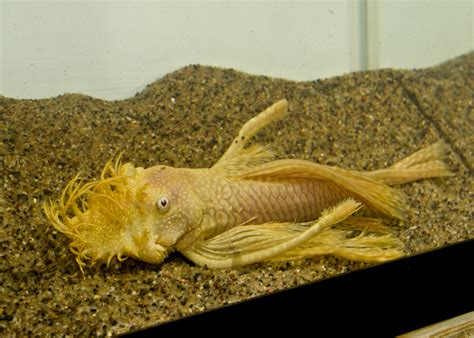 freshwater ram the gallery for gt freshwater aquarium fish for sale