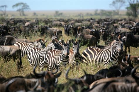 zebra migration pattern the great wildebeest migration begins in kenya the