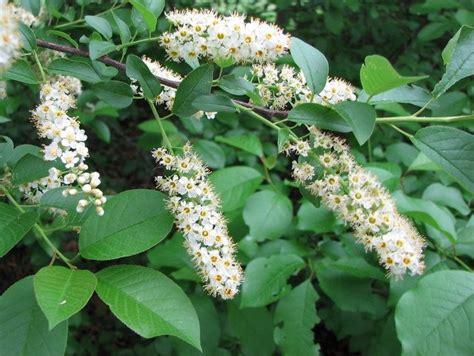 cherry tree kansas choke cherry prunus virginiana guide to kansas plants