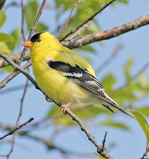 state birds rujax campor washington state bird