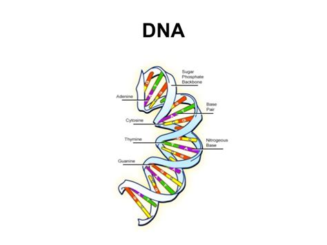 section 10 2 review dna structure dna structure