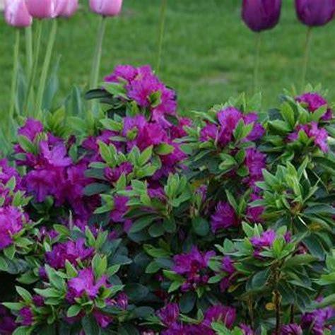 hardy flowering evergreen shrubs 1 x purple azalea japanese evergreen shrub hardy garden
