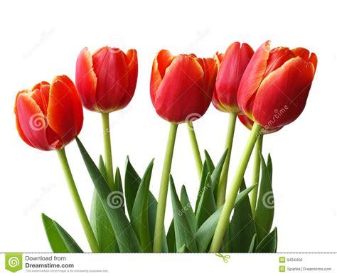 imagenes tulipanes rosas flores del resorte tulipanes foto de archivo imagen
